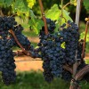 Cabernet Franc and its potential in Argentina