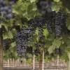 Syrah: the metamorphosis of a classic