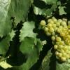 The reinvention of Argentine Chardonnay