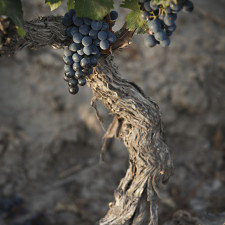 Malbec, its clone and its family