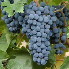 Bonarda: key piece of Argentine wine