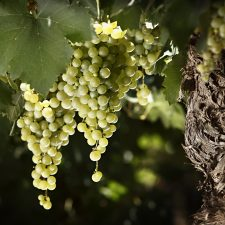 Three white trends: White Blend, a new Torrontés and high altitude Chardonnay