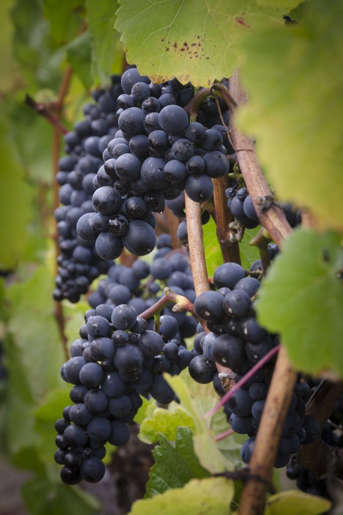 WHY CHOOSE ARGENTINE PINOT NOIR