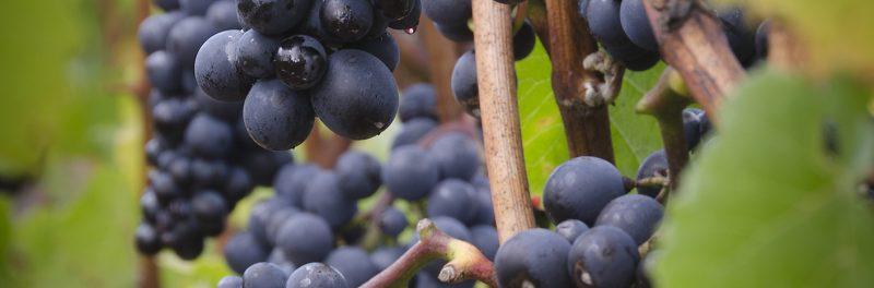 Pinot Noir argentino