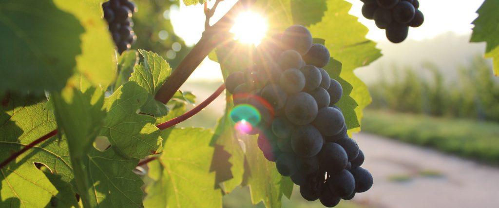 Vinos Bio: ¿qué es y cuando conviene certificar la producción?