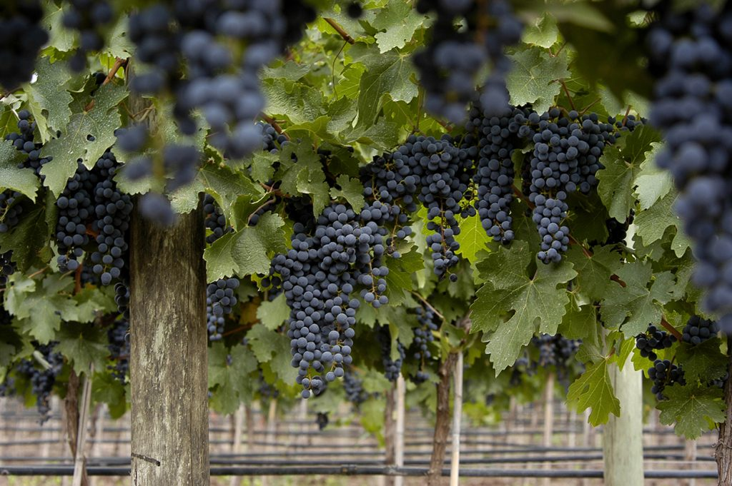 The most common red grapes in Argentina