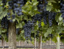 As uvas tintas mais plantadas da Argentina