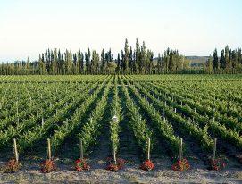 Wines of Río Negro